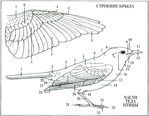 Строение тела: 1 - хвост