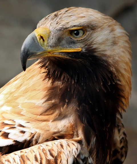 Могильник (Aguila heliaca)