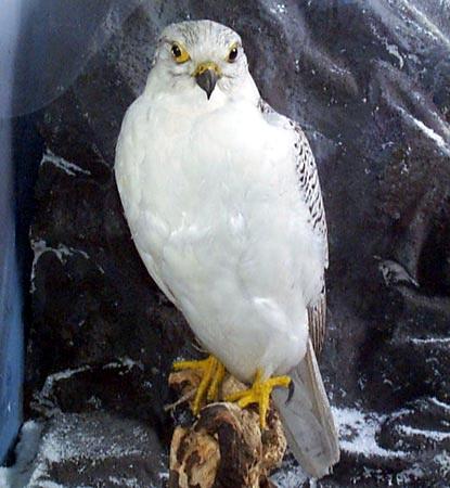 Кречет (Falco rusticolus)
