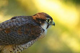 Средиземноморский сокол (Falco biarmicus)