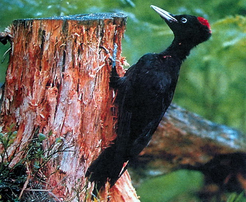 Признаки: черный дятел размером с ворону, это самый крупный из наших дятлов.