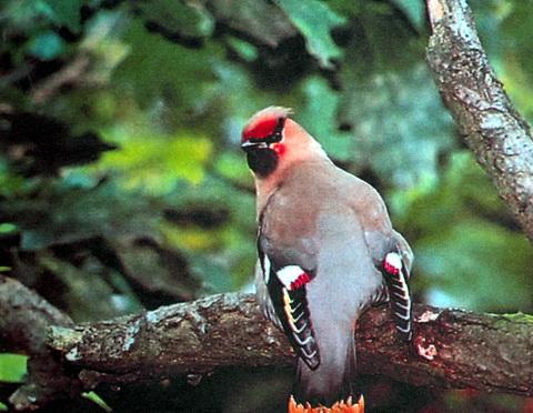 Обыкновенный свиристель (Bombycilla garrulus)