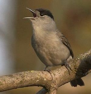 Славка-черноголовка (Sylvia atricapilla)