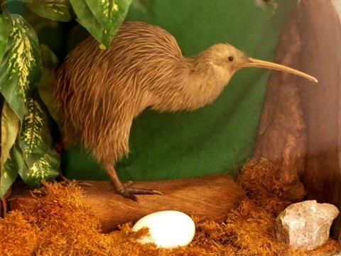 Бурый киви (Apteryx australis)