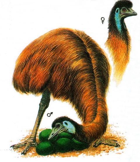 Эму (Dromaius novaehollandiae)