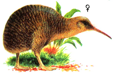Малый пятнистый киви (Apteryx owenii)