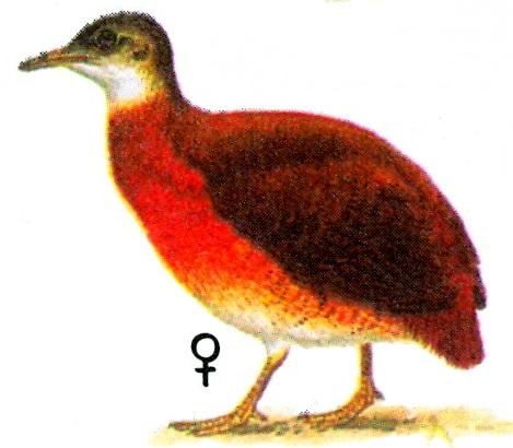 Малый тинаму (Crypturellus soui)