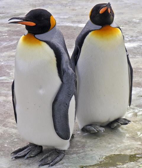Королевский пингвин (Aptenodytes patagonicus)