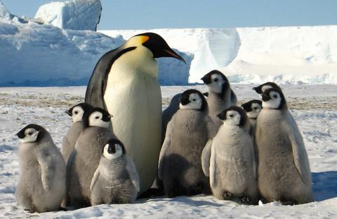 Императорский пингвин (Aptenodytes forsteri)