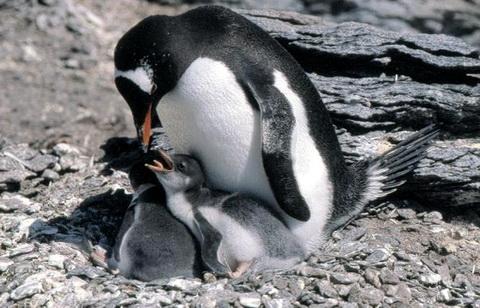 Папуанский пингвин (Pygoscelis papua)