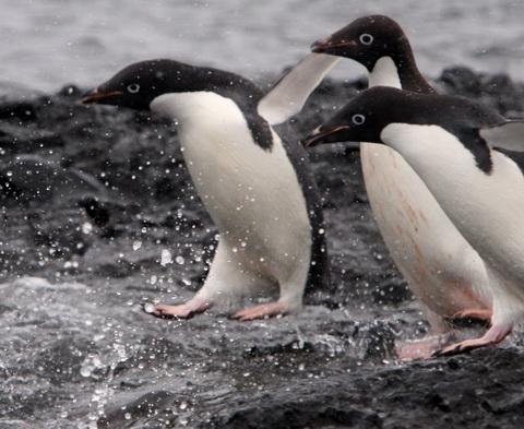 Пингвин Адели (Pygoscelis adeliae)
