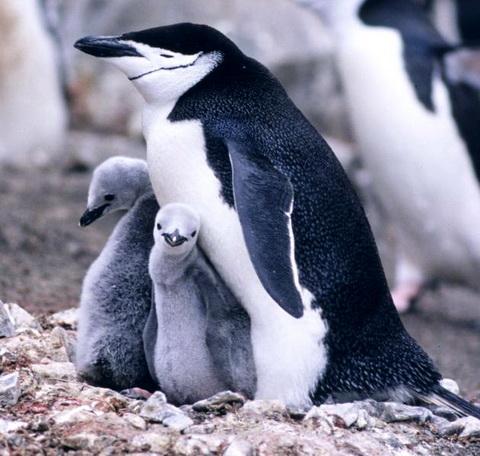 Антарктический пингвин (Pygoscelis antarctica)