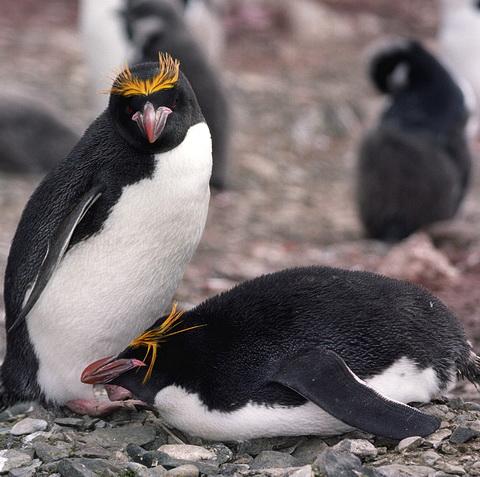 Златовласый пингвин (Eudyptes chrysolophus)
