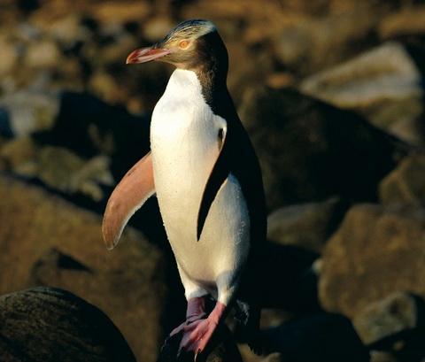 Желтоглазый пингвин (Megadyptes antipodes)