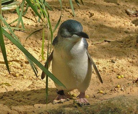 Малый пингвин (Eudyptula minor)