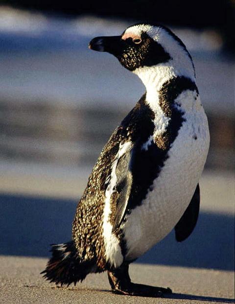 Очковый пингвин (Spheniscus demersus)