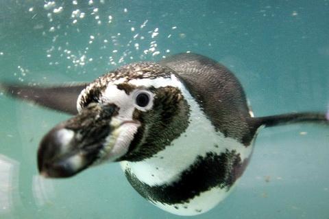 Пингвин Гумбольдта (Spheniscus humboldti)
