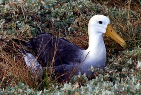 Волнистый альбатрос (Diomedea irrorata)