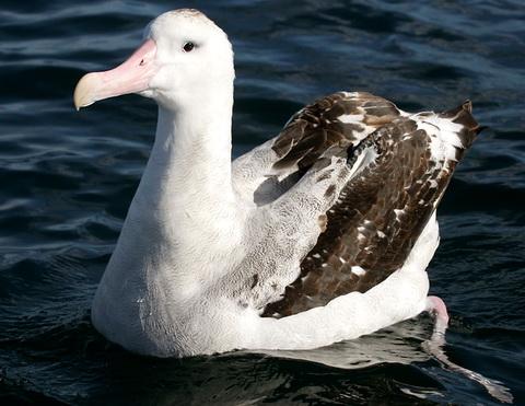Странствующий альбатрос diomedea exulans