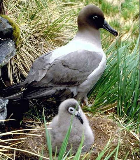Темноспинный дымчатый альбатрос (Phoebetria fusca)