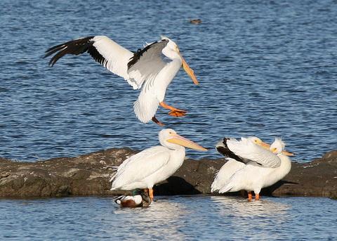 Американский белый пеликан (Pelecanus erythrorhynchos)