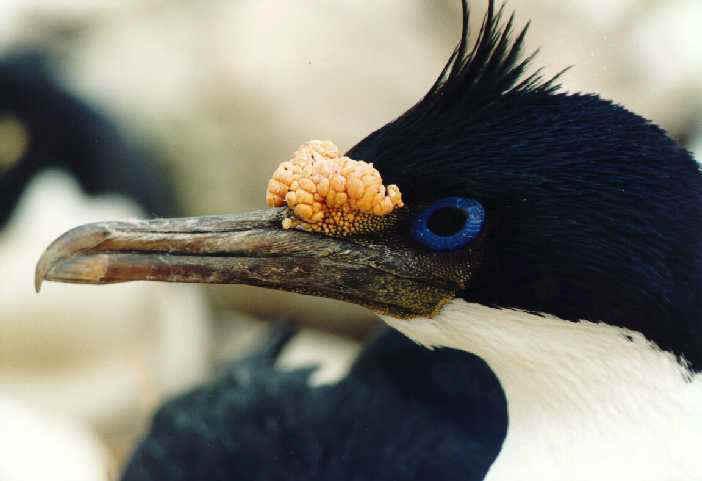 Голубоглазый баклан (Phalacrocorax atriceps)
