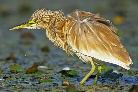 Желтая цапля (Ardeola ralloides)