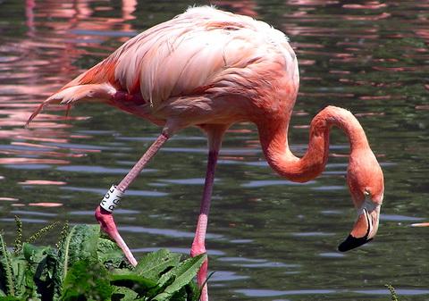Фламинго красный (Phoenicopterus ruber)