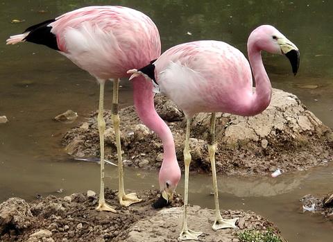 Фламинго Андский (Phoenicoparrus andinus)